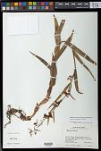 view Epipactis veratrifolia digital asset number 1