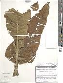 view Espeletiopsis insignis (Cuatrec.) Cuatrec. digital asset number 1