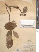 view Sorbus keissleri (C.K. Schneid.) Rehder digital asset number 1