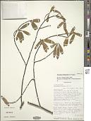 view Octolepis ibityensis Z.S. Rogers digital asset number 1
