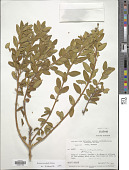view Monnina pycnophylla B. Eriksen digital asset number 1