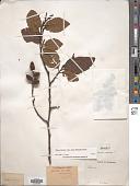 view Alnus acuminata subsp. arguta (Schltdl.) Furlow digital asset number 1