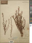 view Epifagus virginiana (L.) W.P.C. Barton digital asset number 1