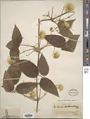 view Clematis leschenaultiana DC. digital asset number 1