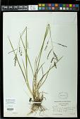 view Panicum longifolium Torr. digital asset number 1