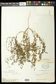view Euphorbia simulans (L.C. Wheeler) Warnock & M.C. Johnst. digital asset number 1