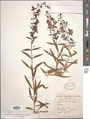 view Angelonia angustifolia Benth. digital asset number 1