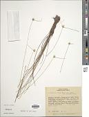 view Cyperus brasiliensis (Kunth) Bauters digital asset number 1