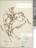 view Galium noxium subsp. noxium digital asset number 1