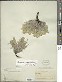 view Cryptantha humilis (Greene) Payson digital asset number 1