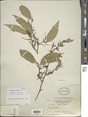view Ruprechtia carina Pendry digital asset number 1