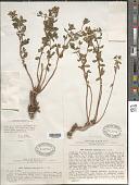 view Euphorbia pachyrrhiza Kar. & Kir. digital asset number 1