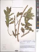 view Ficus pygmaea Welw. ex Hiern digital asset number 1