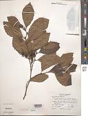 view Alnus serrulata (Aiton) Willd. digital asset number 1