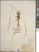 view Sporobolus indicus (L.) Aiton digital asset number 1