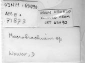 view Macrobrachium sp. digital asset number 1