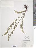 view Asplenium platyneuron var. bacculum-rubrum (Featherm.) Fernald digital asset number 1