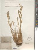 view Festuca ovina L. digital asset number 1