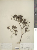 view Dictyoloma peruvianum Planch. digital asset number 1