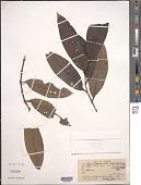 view Piper arboreum var. falcifolium (Trel.) Yunck. digital asset number 1