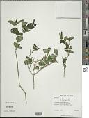 view Siphonoglossa sessilis (Jacq.) D.N. Gibson digital asset number 1