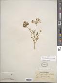 view Tripterocalyx carneus (Greene) L.A. Galloway var. carneus digital asset number 1