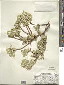 view Wikstroemia uva-ursi var. kauaiensis Skottsb. digital asset number 1