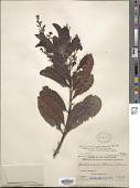 view Buchanania arborescens (Blume) Blume digital asset number 1
