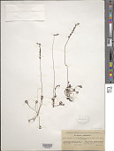 view Drosera rotundifolia L. digital asset number 1