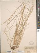 view Festuca idahoensis Elmer digital asset number 1