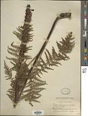view Pedicularis procera A. Gray digital asset number 1