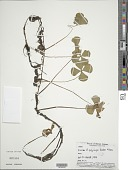 view Marsilea polycarpa Hook. & Grev. digital asset number 1