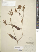 view Polygonum campanulatum Hook. f. digital asset number 1
