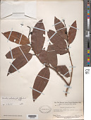 view Ouratea schomburgkii (Planch.) Engl. digital asset number 1
