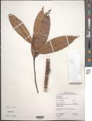 view Anaxagorea acuminata (Dunal) A. DC. digital asset number 1