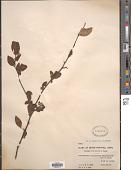 view Cotoneaster acutifolia digital asset number 1