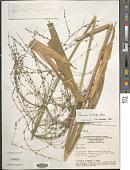 view Stephostachys mertensii (Roth) Zuloaga & Marrone digital asset number 1