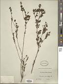 view Babingtonia densifolia (Sm.) F. Muell. digital asset number 1