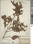 view Chamaecyparis thyoides (L.) Britton, Stearns & Poggenb. digital asset number 1