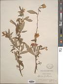 view Spiraea lindleyana Siebert digital asset number 1