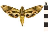 view Pandorus Sphinx digital asset number 1