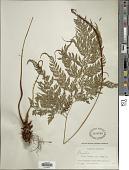 view Arachniodes denticulata (Sw.) Ching digital asset number 1