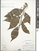 view Monnina pubescens H.B.K. digital asset number 1