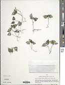 view Geophila gracilis (Ruiz & Pav.) DC. digital asset number 1