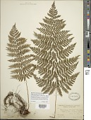 view Dryopteris intermedia (Muhl.) A. Gray digital asset number 1