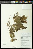 view Paullinia caloptera Radlk. digital asset number 1