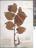 view Saururus chinensis (Lour.) Baill. digital asset number 1