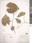 view Dioscorea bulbifera L. digital asset number 1