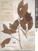 view Gymnacranthera farquhariana var. zippeliana (Miq.) Schouten digital asset number 1