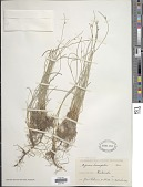 view Cyperus laevigatus L. digital asset number 1